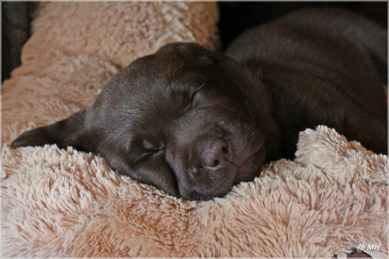 Labradors Vom Frohlinder Berg Zucht